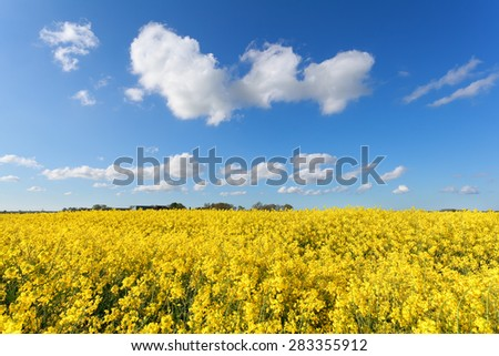 yellow oilseed flower field and blue sky - stock photo