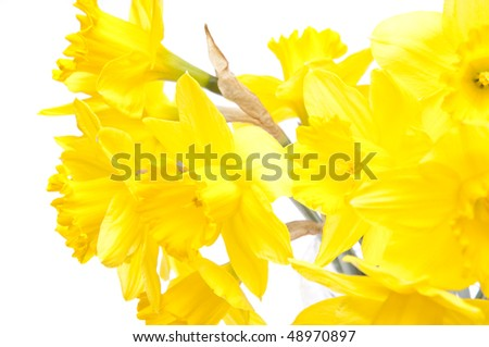 Yellow on white creates a beautiful contrast in this daffodil image.