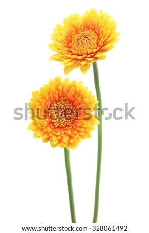 Yellow orange gerbera daisies isolated on white background  - stock photo