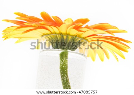 Yellow orange gerbera in vase on white background