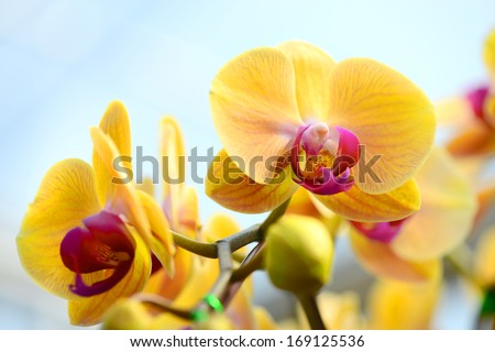 Yellow Orchid - stock photo