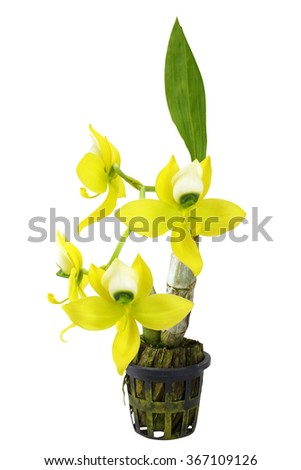 Yellow orchid (Cycnodse wiarscewiczii) isolated on white background - stock photo