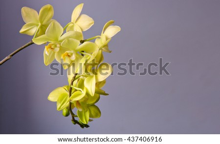 Yellow Orchid Flower isolated on gray background.