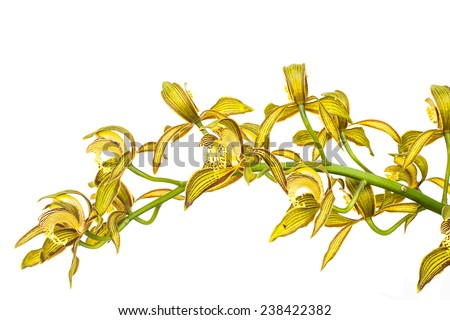 Yellow Orchid Flower isolated on white background - stock photo