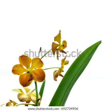Yellow Orchid Flower isolated on white background. shallow dept of field.