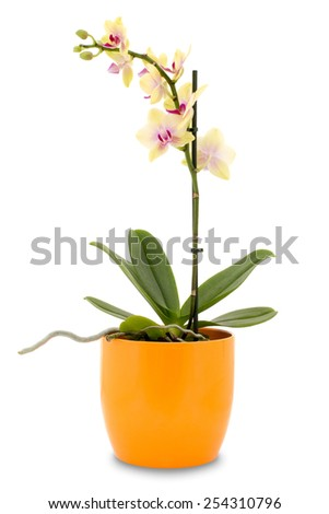 Yellow orchid flower (phalaenopsis) in a pot isolated on white background - stock photo