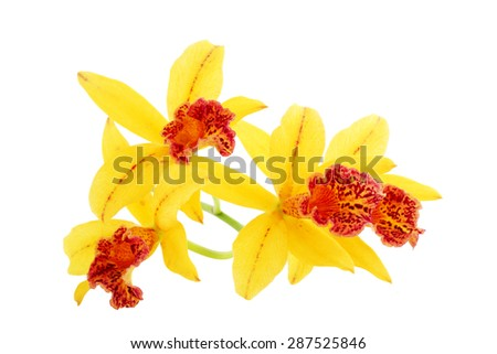 Yellow orchid flowers isolated on white background - stock photo