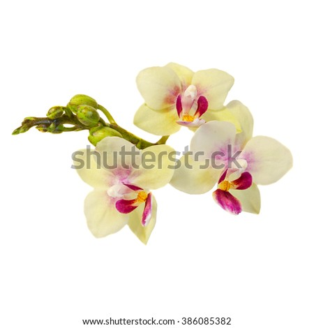 Yellow orchid flowers with buds, Orchidaceae, Phalaenopsis known as the Moth Orchid, abbreviated Phal. White background. - stock photo