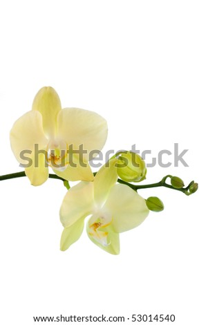 Yellow orchid isolated on white - stock photo