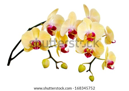 Yellow orchid on a white background - stock photo
