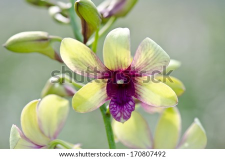 Yellow Orchid Thailand's tropical - stock photo