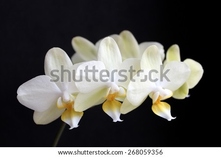 Yellow Orchids On The Black Background