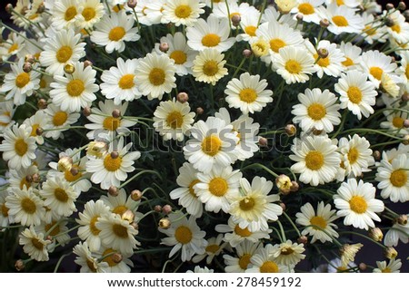 Yellow Oxe-eye daisy or Moon Daisy May flowers, Leucanthemum vulgare, blossoming in May. - stock photo