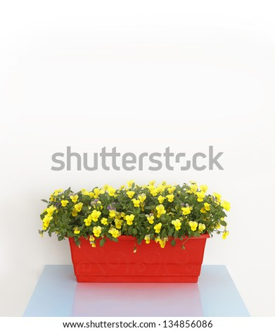 yellow pansy flower in red trough on light blue table - stock photo