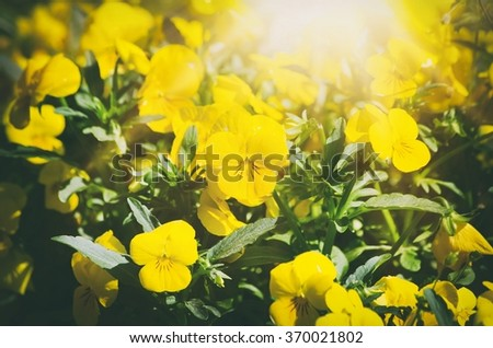 Yellow Pansy Flowers in Sunny Day - stock photo
