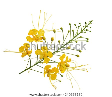 Yellow Peacock Flower Caesalpinia pulcherrima, Barbados Pride branch  isolated on white background. - stock photo