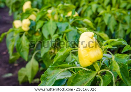 Yellow pepper on a patch in a garden with other peppers and green plants on the background - stock photo
