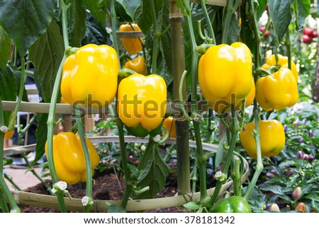 yellow peppers growing in the garden. - stock photo