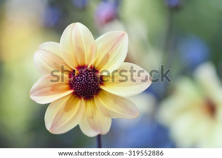 Yellow petals flower with dark red center. Blooming garden flower. Fresh aster flower side view. Callistephus china art marguerite. soft focus, copy space - stock photo
