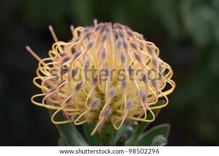 Yellow Pincushion Protea - stock photo
