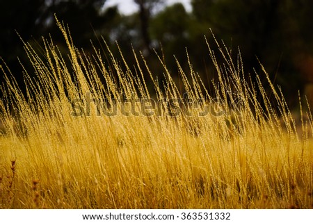 Yellow plant in field of middle of Australia - stock photo