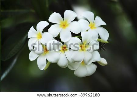 yellow plumeria  flower - stock photo