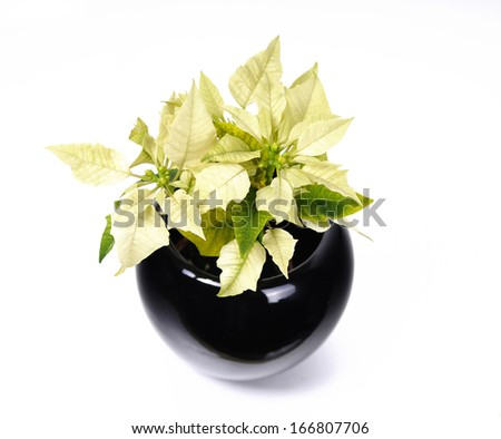 Yellow poinsettias  - stock photo