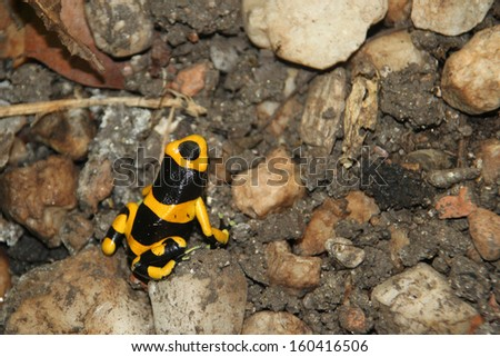 Yellow Poison Arrow Frog (Dendrobates leucomelas) - stock photo