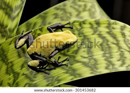 Yellow poison frog Brazil rain forest, Dendrobates galactonotus. Poisonous rainforest animal, exotic tropical amphibian with warning colors. - stock photo