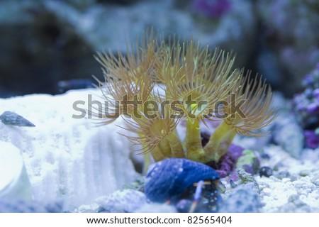 Yellow polyps in a reef tank. - stock photo
