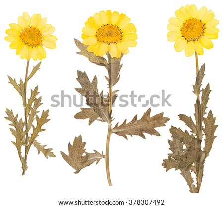 Yellow pressed flowers and leaves of chrysanthemum isolated - stock photo