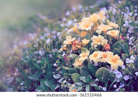 yellow primula on flower bed - stock photo