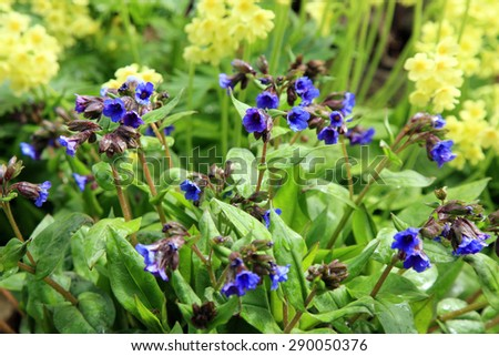 Yellow Primula Vulgaris and blue Lungwort, spring flower in shady corner. Wild garden. - stock photo