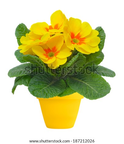 yellow primulas in yellow flowerpot, isolated on white