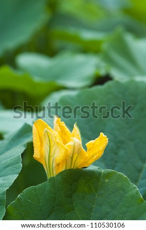 Yellow pumpkin flower among green leaves - stock photo