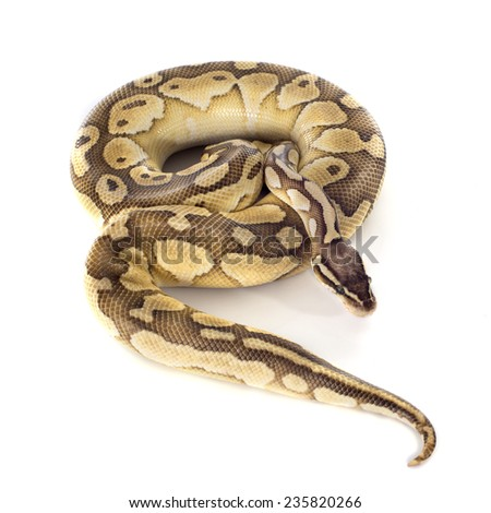 yellow Python regius in front of white background - stock photo