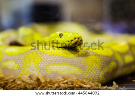 Yellow python snake. - stock photo