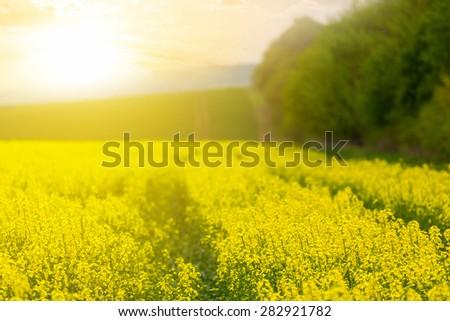 yellow rape field - stock photo
