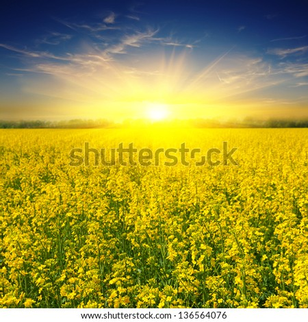 yellow rape field at the sunset - stock photo