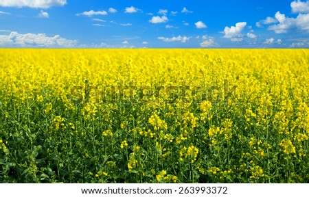 yellow rape seed field in spring - stock photo
