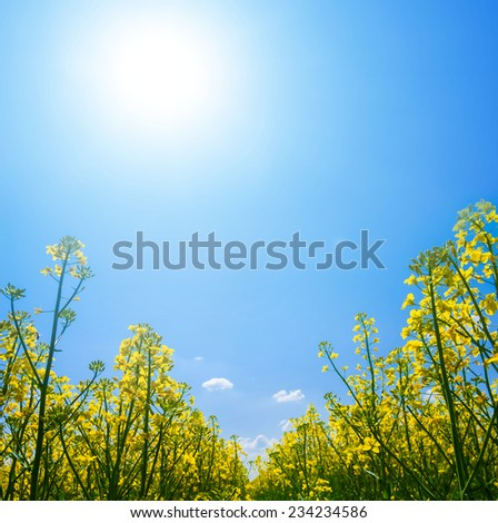 yellow rape sprouts in a rays of sun - stock photo