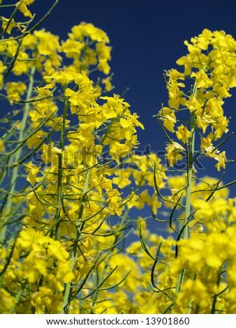 Yellow rapeseed agaist blue sky - stock photo