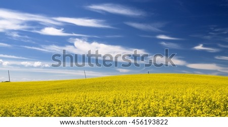 Yellow rapeseed field and dark blue sky with clouds in Latvia