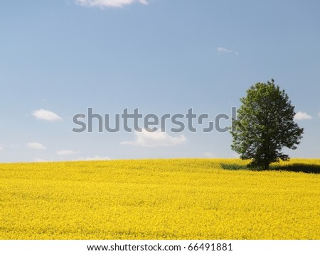 Yellow rapeseed field in bloom with blue sky and white clouds