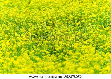 Yellow rapeseed flower field. - stock photo