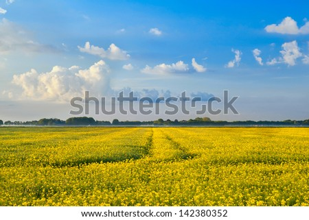yellow rapeseed flower field and blue sky, Netherlands - stock photo