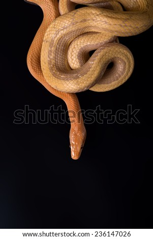 Yellow Rat Snake  large and bright yellow striped snake of the southeastern United States on black background with copy place - stock photo