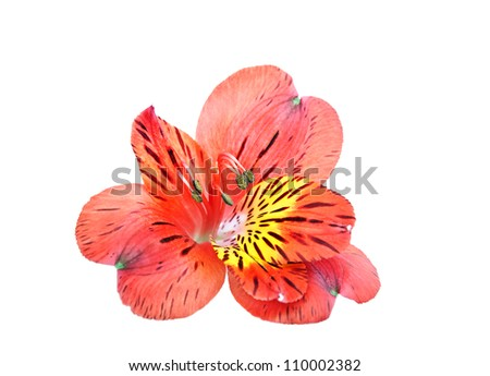 Yellow Red Alstroemeria Lily Spray isolated on white