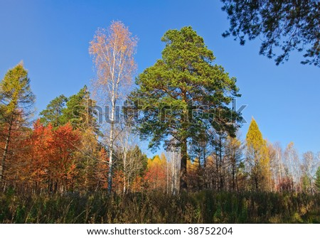 Yellow, red and green trees in forest at autumn. And blue sky. - stock photo