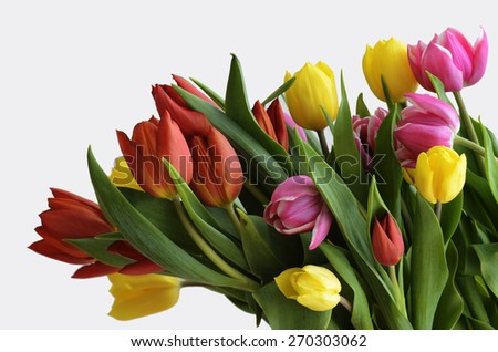 yellow, red and purple tulips on a white background - stock photo